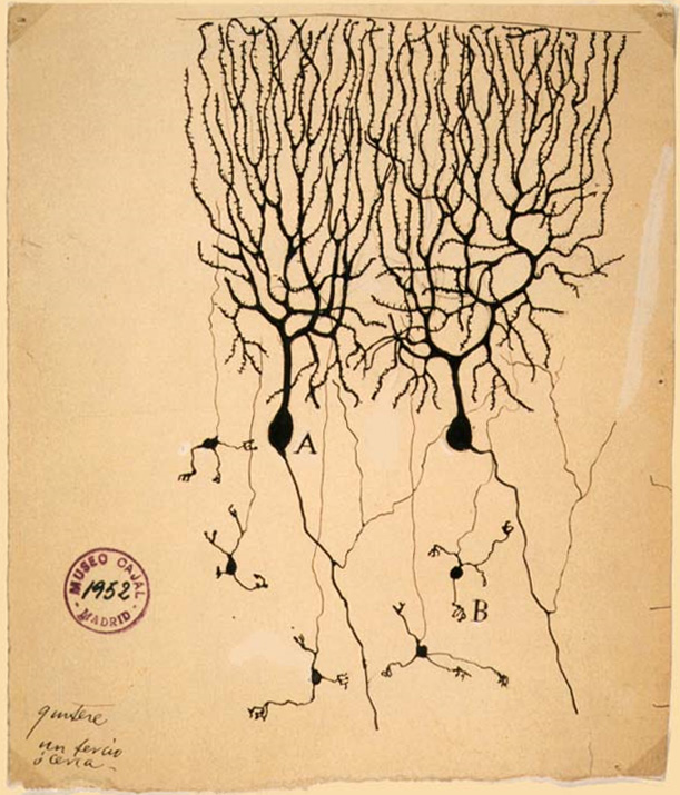 ハト小脳ニューロンスケッチ